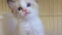 海豹双色布偶猫MM2016.7.25在售