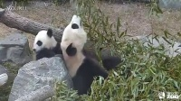 Toronto Zoo Giant Panda Cub Jia Yueyue and mom Er Shun
