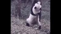 【音你一笑】哈哈 一只胖PANDA就是未来的钢管一哥!