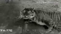 当两大猫科动物老虎和狮子 VS起来到底谁能胜出 值得一看