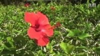 奥特曼夏威夷度假第三季【瓦胡岛 友邦娜凯植物园】_超清