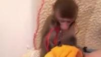 哪里有卖袖珍石猴★宠物猴%袖珍石猴出售微信号:hou8698