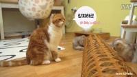 SuriNoel萌喵一家如何用竹夫人和猫咪们玩耍