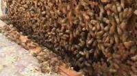 中华蜜蜂养殖技术视频全集二 蜜蜂养殖方法(1)