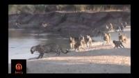 当1只金钱豹和40只狒狒狭路相逢