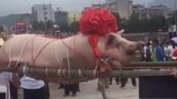 人怕出名猪怕壮 这么大的你见过吗