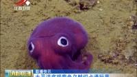 太平洋底现紫色乌贼似卡通玩具 江西新闻联播 160827