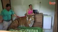 在家里养一只大老虎,这种体验好奇特
