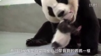 圆仔回到妈妈怀抱  Giant Panda Cub Yuan Zai Reunited with Mother Panda, Yuan Yuan