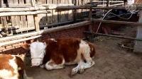 西门塔尔牛图片大全  三到四代牛