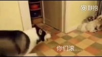 哔哩哔哩-还记得因为主人多带了一只狗回家而跟主人吵架的哈士奇吗。