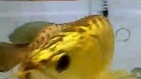 高手在民间 百万元的黄金鱼