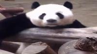 你用什么来形容熊猫呆萌可爱可爱呆萌你对熊猫了解多少黑白的中国特有呃白眼只有这样吗在地球生存了800万