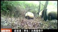 千佛山首次拍到野生大熊猫 母子出游寻找爱 160907 新闻现场