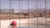两只被囚禁多年的老虎第一次体验游泳