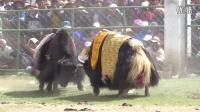 白朗县者下乡斗牛文化节