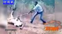 印度男徒手拽狮子尾巴 向朋友证明狮子仍活着