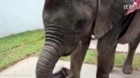 14个月大的象宝宝孤儿在主人家里捣蛋