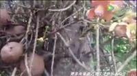 """游客路边发现一棵""""炸弹树"""" 当地居民不敢轻易靠近"""