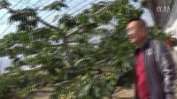 樱桃大棚的种植方法大棚放风机易农牌视频