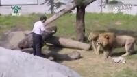 台湾男子掉入狮舍神奇控制住了狮子