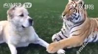 一只让老虎跪舔的狗,卧槽,你是百兽之王啊,老虎你尊严呢?