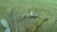 水下拍摄:有多少鱼会对地笼中的诱饵感兴趣