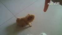 不得不看听话的荷兰猪,长不大的萌物狗狗真的是太可爱