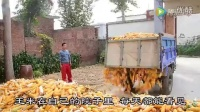 玉米价格一跌再跌?农民都哭了…