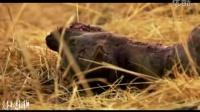 这就是非洲二哥,脚掌被咬断,遭雄狮锁喉全身血肉模糊,但它活着