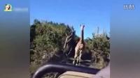 惹毛了长颈鹿比狮子追赶你还可怕,这个老外的下场太惨了