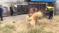 大连猛犬园🌺🌺金钱豹与杜拉玛打斗。