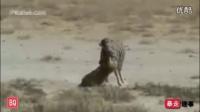 【暴走大事件】动物世界 狮子遇强悍斑马 以后在狮界还怎么混