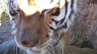 知道老虎的叫声是什么意思吗?