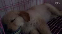 金毛宝宝睡觉把水碗当枕头