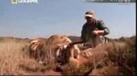 实拍:带着老虎去打猎是什么体验,没有比这更炫酷拉风的了!