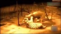 老虎狮子大战地动山摇