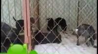崇左市卡斯罗哪里有卖的,卡斯罗幼犬多少钱一只