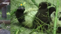 nov27 National Zoo baby panda recovering from surgery