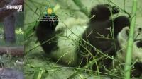 nov27 National Zoo baby panda recovering from surgery