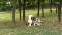 灵缇犬多大可以训练 马犬的训练