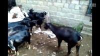 养黑山羊去哪儿引种努比亚黑山羊价格哪儿卖努比亚黑山羊怀孕母羊多少钱