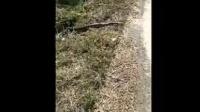 上林三里惊现4米长大蟒蛇