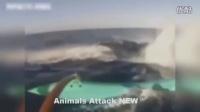 鳄鱼攻击 !有你见过野生动物的攻击吗?