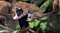 捷豹捷豹攻击在动物园伤害游客Quistococha,Otorongos