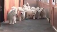 萨摩耶幼犬怎么训练多少钱一只