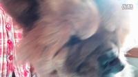 [萌犬仁球]松狮宝贝梳妆打扮前 要先吃一块钙片