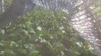 网狼鸡蛋果的功效百香果苗