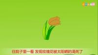 223 种植玫瑰花 种植玫瑰花