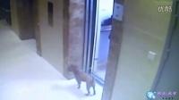 实拍:老太带狗乘电梯 狗狗被勒死